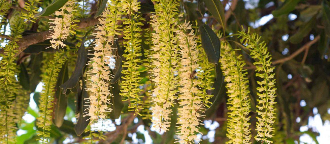 Macadamia flowers_shutterstock_95584840_RGB 72dpi