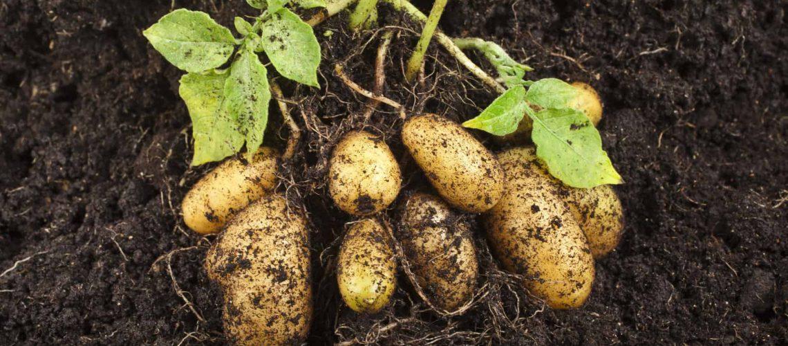 Potatoes_shutterstock_146377145_RGB 300dpi